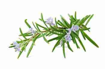Rosemary Herb Extract