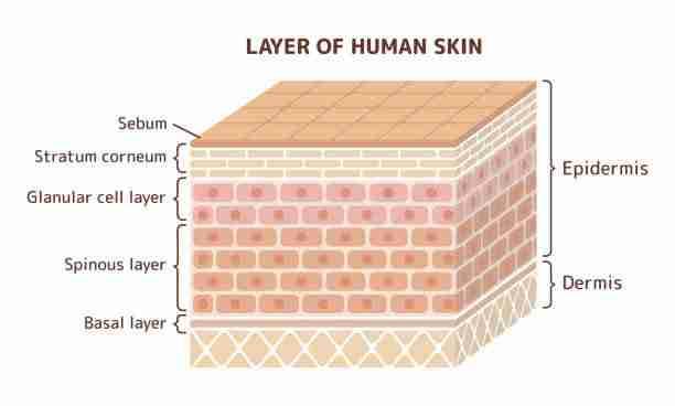Brick-andMortar like arrangement of skin cells in the epidermis